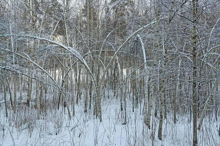 @commander# panda swinger of birch trees HOT!!!!